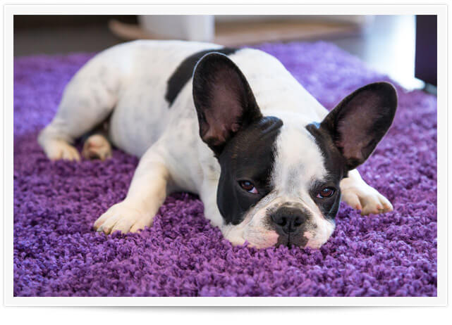 Carpet Pet Urine Removal Service in Edmonds, WA